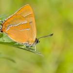 Celkem logicky vzato se většina motýlů nejlépe mapuje pozorováním imág. Ostruháček březový (Thecla betulae), jeden z nejpozdnějších denních motýlů, není ten případ