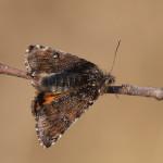 Napářená samice černoproužky osikové (Archiearis notha)