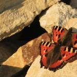 Nezmar babočka kopřivová - často vůbec první zpozorovaný jarní (denní) motýl