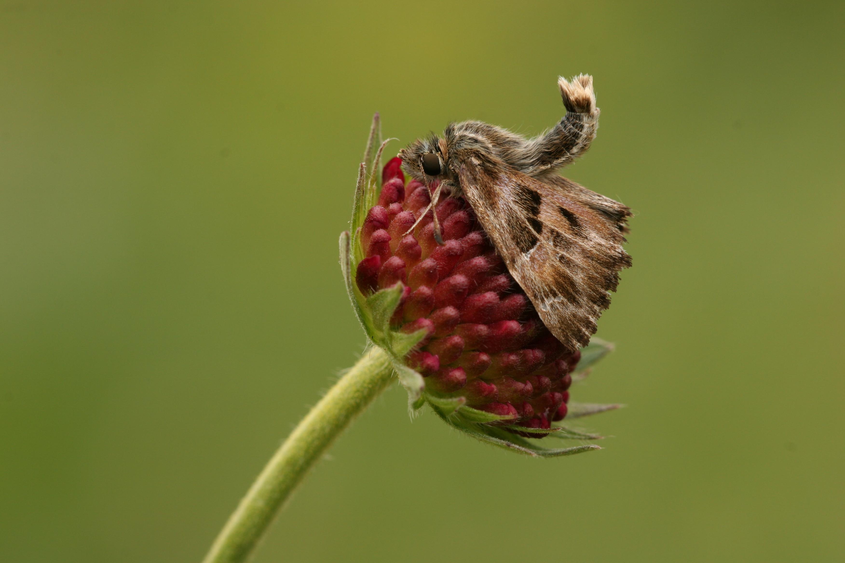 Výslunné lemové turistické stezky či jejich nejbližší okolí preferuje pěkných pár druhů. Například migrant perleťovec malý (Issoria lathonia, na Pálavě mnohem časnější než leckde jinde v ČR) nebo vyobrazený soumračník slézový (Carcharodus alceae), který se naštěstí také šíří do nových regionů.