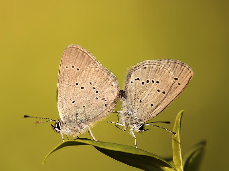 Modrásek nejmenší (Cupido minimus) je mimořádně drobný a nálezově trochu nevypočitatelný motýl, který - zrovna jako spousta jiných modrásků - z naší krajiny poměrně nenápdně mizí. Na Pálavu však patří.