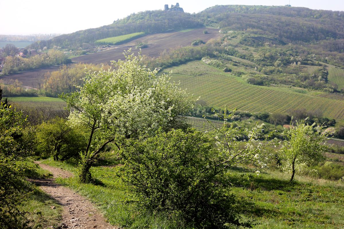 Jarní pohled z Děvína na Klentnici - dvě  neoddiskutovatelná centra recentního výskytu pálavských motýlů v jednom záběru.