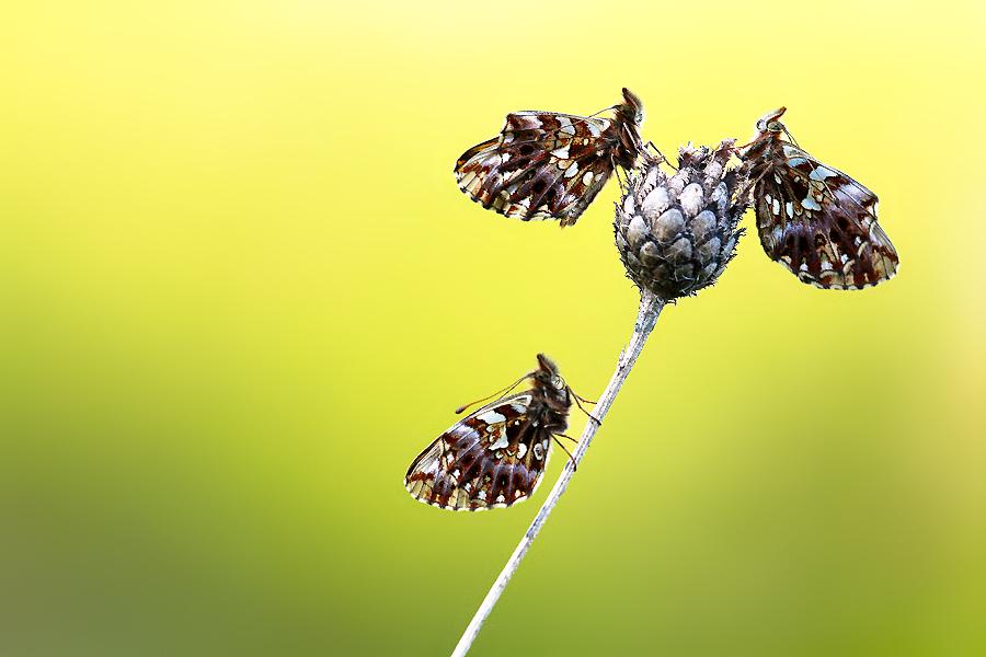 """Toto již poněkud zarostlé, křovinaté bradlo se nachází v ideálním stavu sukcese pro ostruháčka ostružinového (Callophrys rubi). Dosud jej akceptuje také okáč rosičkový (Erebia medusa), Soumračník jahodníkový (Pyrgus malvae) a pravděpodobně stále také další horký český kandidát na vyhynutí - modrásek komonicový (Polyommatus dorylas). Na takových biotopech si však od prvních jarních dnů libují zejména perleťovci nejmenší, které se mi jako jediné z vyjmenovaných letos podařilo na bradle rozumně vyfotit, takže přikládám právě jejich """"nocležnickou"""" fotku."""