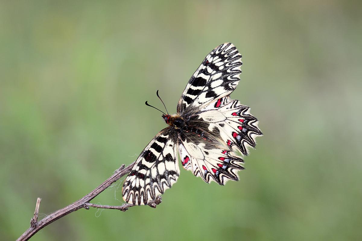 Ačkoli umí být motýlem velmi potulným, klasický tahák jarních dní, pestrokřídlece podražcového (Zerynthia polyxena) bych přímo na pálavských kopcích nehledal. Mnohem početnější je na ruderálech kolem novomlýnské nádrže či kolem řek Moravy a Dyje.