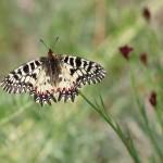 Pestrokřídlec podražcový (Zerynthia polyxena) na Moravě: šíří-li se hostitelská rostlina, šíří se i motýl
