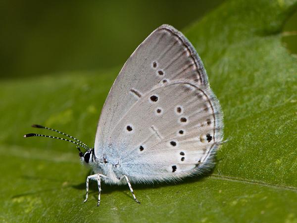 Modrásek tolicový (Cupido decoloratus)