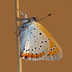 Rub křídel ohniváčka černočárného, foto Marek Fišer