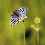 Líc křídel mladých čerstvých samic umí být lomem světla na slunci nebývale veselý a (stejně jako u mnoha jiných druhů perleťovců) dosahovat modrých kontur. Foto M. Fišer