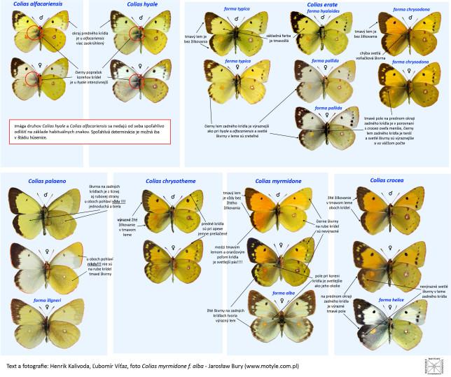 Rodina našich žluťásků rodu Colias umí zamotat hlavu i zkušenějším motýlářům.