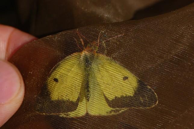 Líc křídel žluťáska tolicového, foto D. Černoch. Při správné a opatrné manipulaci dospělci v síťce nemůžete významněji ublížit