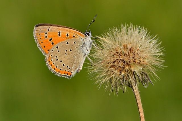 Ohniváček modrolemý (Lycaena hippothoe), foto D. Černoch